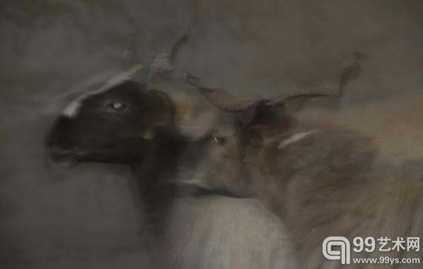 欧拉羊 高清图片